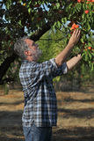 Farmer picking apricot fruit in orchard Stock Image