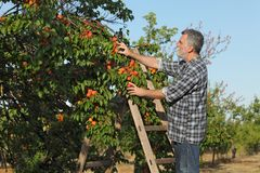 Farmer picking apricot fruit in orchard from ladder. Farmer or agronomist examining and picking apricot fruit from tree in orchard Royalty Free Stock Photo