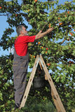 Farmer picking apricot fruit in orchard Royalty Free Stock Photo
