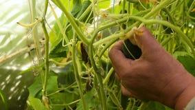 Farmer picking cucumber