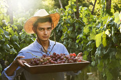 Farmer picking grapes Royalty Free Stock Images