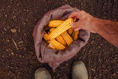Farmer picking harvested corn cobs from burlap sack, top view. Of hand with selective focus royalty free stock photography