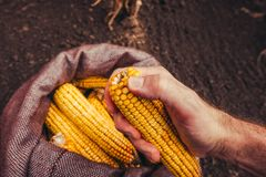 Farmer picking harvested corn cobs from burlap sack, top view. Of hand with selective focus royalty free stock image