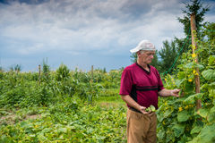 Farmer picking organic cucumbers Stock Images