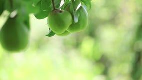 Farmer picking pear in basket stock footage