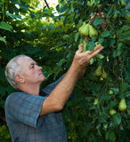 Farmer picking pears Royalty Free Stock Photo