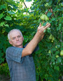 Farmer picking pears Stock Images