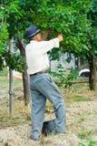 Farmer picking plums. Old farmer picking plums from a tree Royalty Free Stock Photos