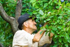 Free Farmer Picking Plums Stock Photography - 6097242