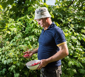 Farmer picking raspberries royalty free stock photos