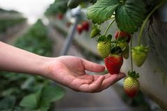 A farmer picking ripe strawberries from a strawberry farm. Organic farming. A gardener watering her plants. Picking or inspecting strawberries on a strawberry royalty free stock photography