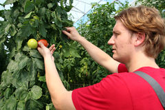 Farmer Picking Ripe Tomatoes. Portrait of a man at work in commercial greenhouse. Hands and tomato in focus Stock Photo