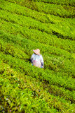 Farmer picking tea leafs in Cameron Highlands Royalty Free Stock Photo