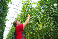 Farmer picking tomato Royalty Free Stock Photography