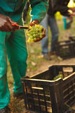 Farmer picking up the best quality grapes at vineyard Stock Photography