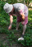 Farmer picking up strawberries Royalty Free Stock Photography