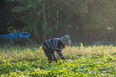 Farmer picking vegetable  in the morning. Green vegetable garden in Pua district,the  northern of Thailand Royalty Free Stock Photo
