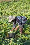 Farmer picking vegetable  in the morning. Green vegetable garden in Pua district,the  northern of Thailand Royalty Free Stock Photography