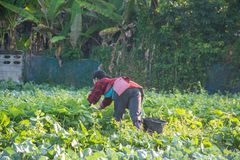 Farmer picking vegetable  in the morning,. Green vegetable garden in Pua district,the  northern of Thailand Royalty Free Stock Images