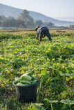 Farmer picking vegetable  in the morning,. Green vegetable garden in Pua district,the  northern of Thailand Royalty Free Stock Image