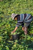 Farmer picking vegetable  in the morning, green vegetable garden. In Pua district,the  northern of Thailand Royalty Free Stock Image