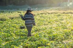 Farmer picking vegetable  in the morning, green vegetable garden. In Pua district,the  northern of Thailand Stock Photography