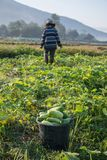 Farmer picking vegetable  in the morning, green vegetable garden. In Pua district,the  northern of Thailand Royalty Free Stock Photos