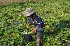 Farmer picking vegetable  in the morning, green vegetable garden. In Pua district,the  northern of Thailand Royalty Free Stock Photography