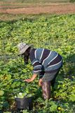 Farmer picking vegetable  in the morning, green vegetable garden. In Pua district,the  northern of Thailand Royalty Free Stock Photo