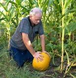 Farmer picking yellow pumpkin Royalty Free Stock Image