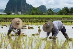 Farmer plant rice seedlings Royalty Free Stock Image