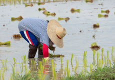 Farmer plant rice sprouts Stock Photos