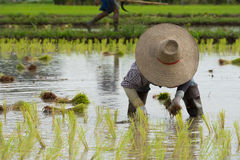 Farmer plant rice sprouts Stock Images