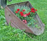 The farmer planted geranium in an old rusty metal bucket of a br. The farmer planted geranium flowers and rosemary plant in an old rusty metal bucket of a broken royalty free stock photos