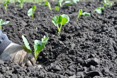 Farmer planting cabbage seedling Royalty Free Stock Photo