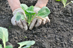 Farmer planting cabbage seedling Royalty Free Stock Photos