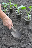 Farmer planting a cucumber seedling in series, 1 of 4 Royalty Free Stock Photo