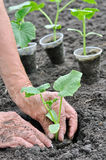 Farmer planting a cucumber seedling in series, 4 of 4 Stock Image