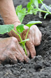 Farmer planting a cucumber seedling Royalty Free Stock Photography