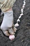 Farmer planting garlic Royalty Free Stock Images