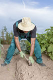 Farmer planting the harvest Royalty Free Stock Photography