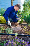 Farmer planting an iris flower in soil Royalty Free Stock Photography