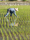 Farmer planting paddy rice on the farmland Royalty Free Stock Photography