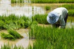 Farmer planting on the paddy rice farmland Royalty Free Stock Photography
