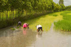 Farmer planting on the paddy rice farmland Stock Photo