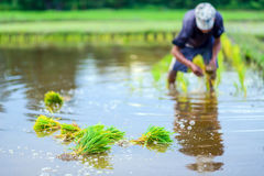 Farmer planting on the paddy rice farmland Royalty Free Stock Photo