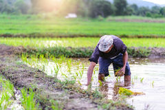 Farmer planting on the paddy rice farmland Stock Photography