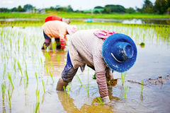Farmer planting on the paddy rice Royalty Free Stock Photo