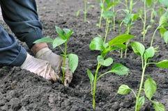 Farmer planting a pepper seedling Stock Photos