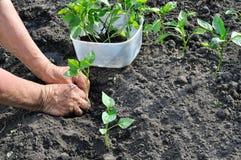Farmer planting a pepper seedling Stock Image